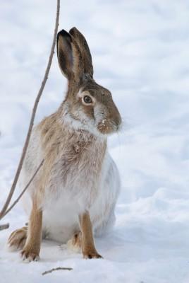 European brown harePhoto: 123RF