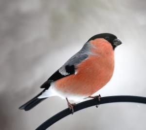 A better bullfinch image Photo via rsbp.org.uk