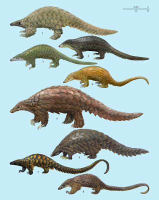 The eight pangolin species Via: http://novataxa.blogspot.fr/2013/02/pangolin-manidae.html
