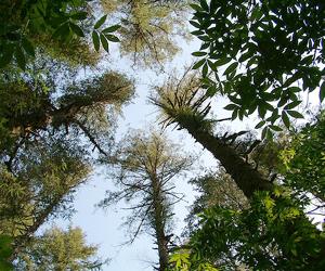Douglas fir trees Image via: TerraDaily
