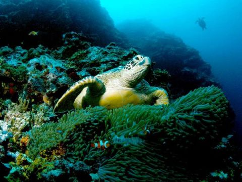 Green Sea Turtle (Chelonia mydas) Photo: Tim Laman/National Geographic