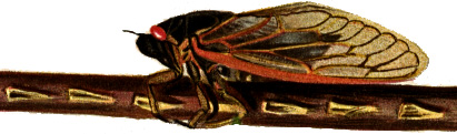 Adult Periodical Cicada Magicicada septendecim with oviposition scars on twig. Drawing by Mr. L. H. Joutel (1905) via http://alpha.fdu.edu