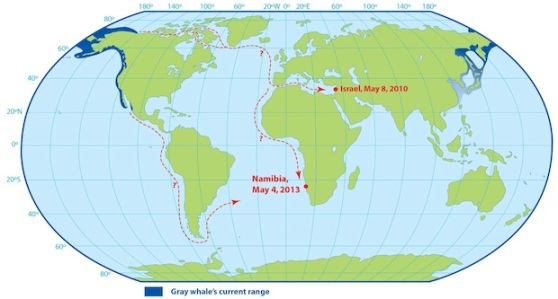 Graphic shows possible routes taken by the gray whale now off Namibia, and another that showed off Israel in 2010. Credit: Uko Gorter