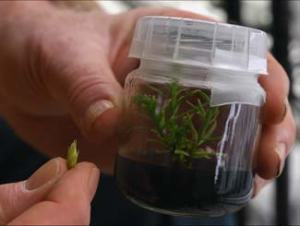 Micropropagation process Photo: Archangel Ancient Tree Archive
