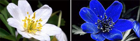 Wood anemone (Anemone nemorosa) Photo: Bjørn Rørslett