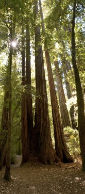 Image credit: <a href='http://fr.123rf.com/photo_11945435_gigantic-redwood-trees-in-sunlight.html'>mtilghma / 123RF Banque d'images</a>