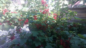 This red currant bush is a holdover from the old garden - it used to be lost in a patch of scraggy raspberry canes. When we laid down on a stone path and raised bed, we left the currant bush where it was. This is its first year on its own. It looks happy. Photo: PK Read