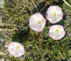 Kitschy hedgerow pinwheels Photo: PK Read