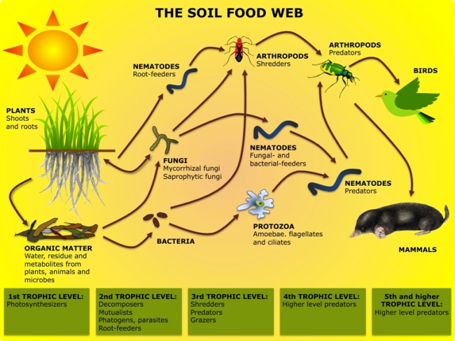 Simplified Soil Food Web, showing bacteria and microorganisms at the 2nd trophic level. Source: European Soil Portal