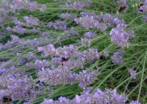 There are around 30-40 bumblebees in my lavender bushes this year - most colonies only number 50 or less, so I'm assuming an entire nest has taken up residence nearby. Photo: PK Read