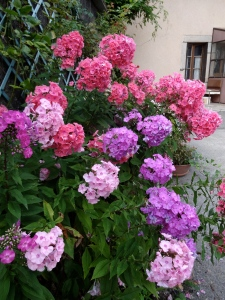 Phlox Photo: PK Read