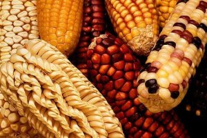 Maize types Source: TNAU Genomics