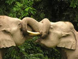 Male elephants sparring.  Photo by Karpagam Chelliah