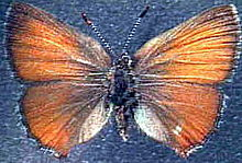 San Bruno Elfin Butterfly Source: Wikipedia