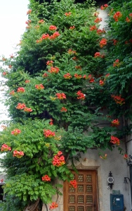 Rampant trumpet vine on the house wall. Photo: PK Read