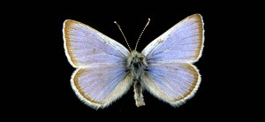 Mission Blue Butterfly Source: California Academy of Sciences