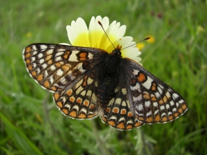 Bay Checkerspot Butterfly Photo: Leslie Gonzales / WWU