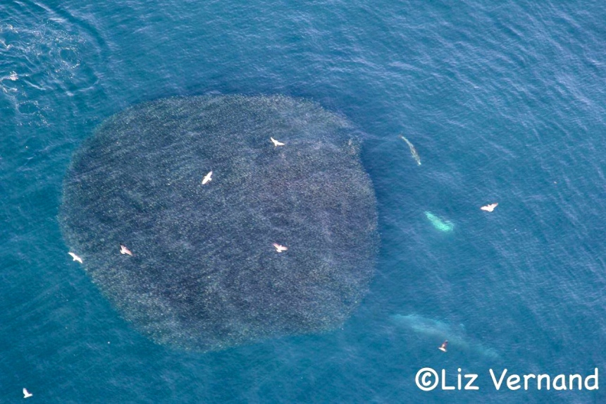 A giant 'bait ball' of anchovy, with two humpback whales approaching on the lower right. Photo: Liz Vernand via GrindTV