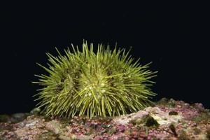 Green sea urchin Source: OhDeer