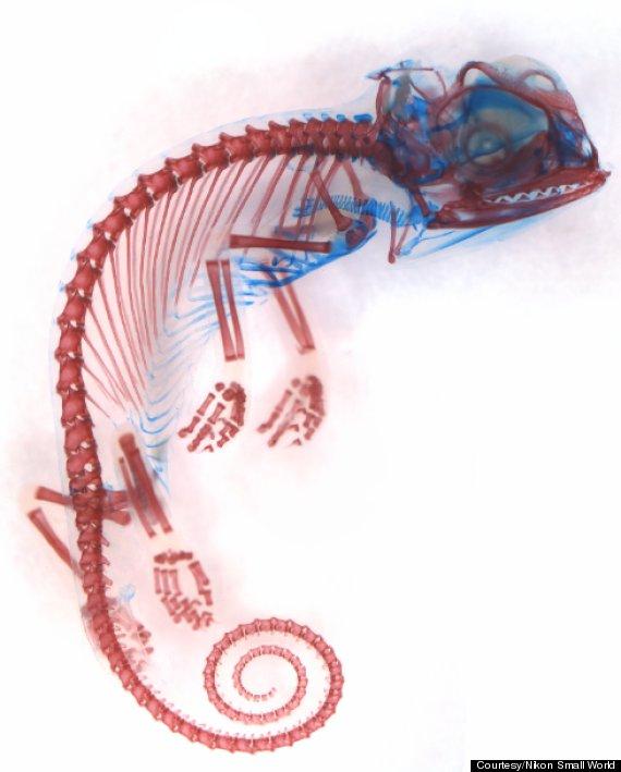 Veiled Chameleon (Chamaeleo calyptratus) embryo showing cartilage (blue) and bone (red) Image: Dorit Hockman