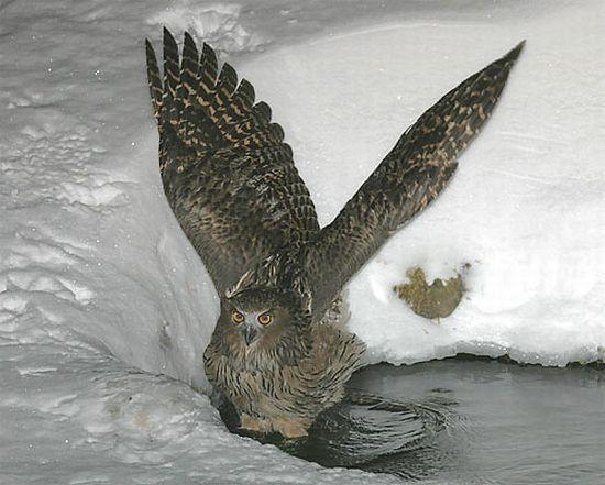 Blakiston Fish Owl hunting Source: Internet Bird Collection