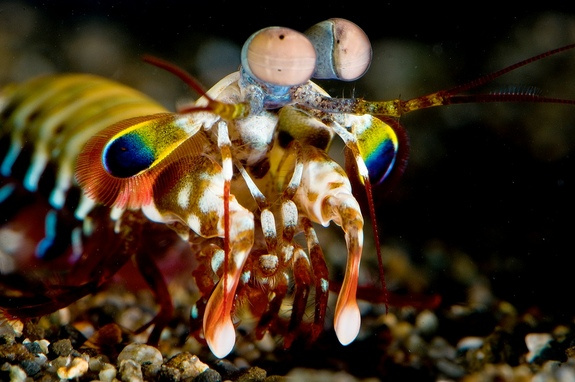 Juvenile mantis shrimp Photo: Roy L. Caldwell via LiveScience