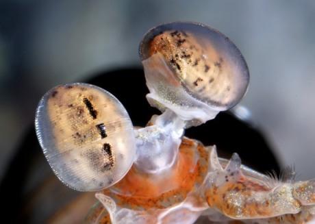 Mantis shrimp eyes. Photo: Roy L. Caldwell via LiveScience