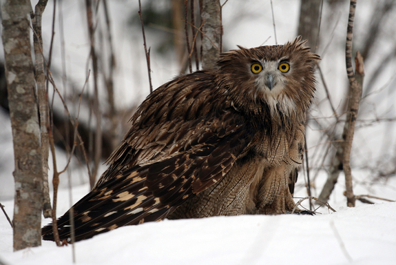 Blakiston fish owl Photo: © Jonathan C. Slaght, WCS Russia