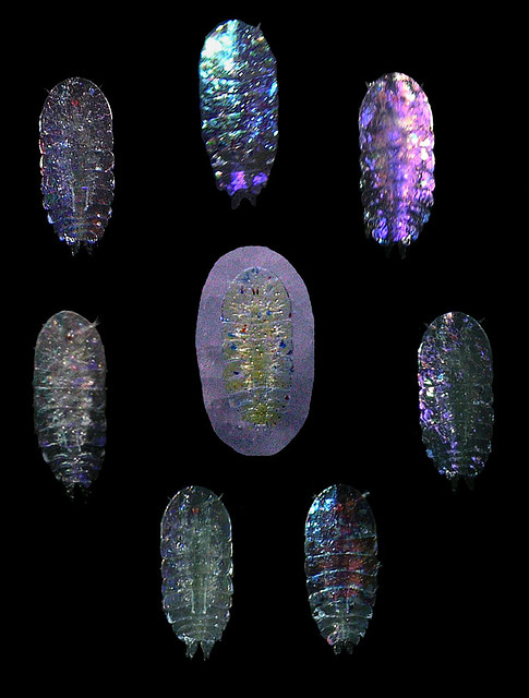 Tiny jewel copepods from Panama Photo: Arthur Anker/Flickr