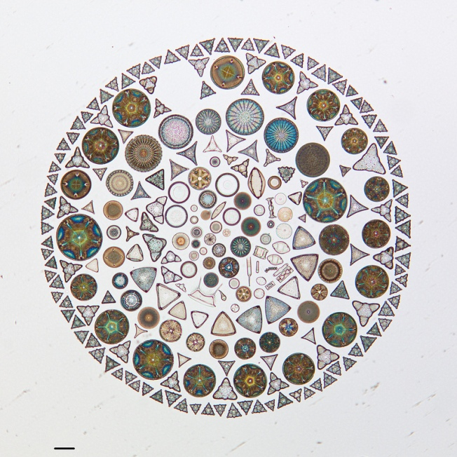 Photograph of diatoms collected in Russia and arranged on a microscope slide in 1952 by A.L. Brigger. Source: CAS