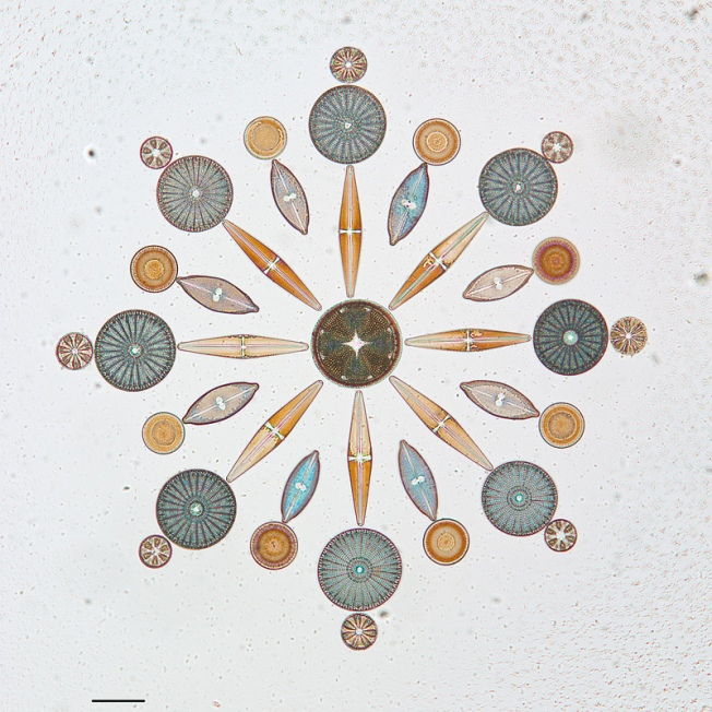 Photograph of diatoms arranged on a microscope slide by W.M. Grant. Source: CAS