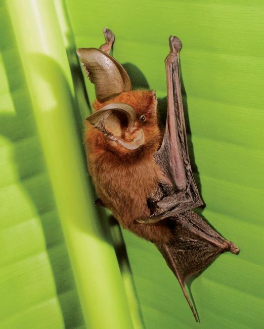 Photo: Merlin D. Tuttle / Bat Conservation International