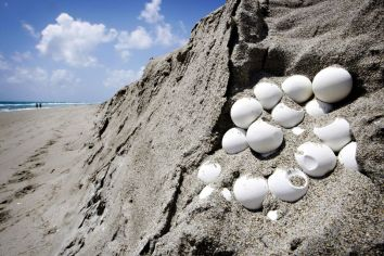 Turtle eggs. Photo: Palm Beach Post