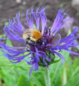 Bumblebee on cornflower.  Photo: Dave Goulson / Univ. of Sussex