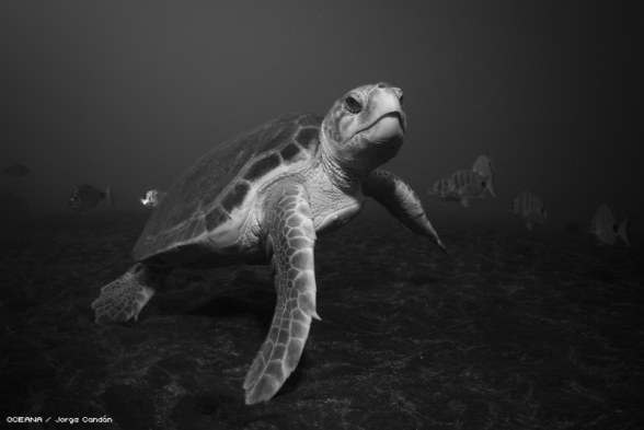 Loggerhead Sea Turtle (C. caretta) Photo: Jorge Candan