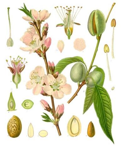 Almond plant. Source: Franz Eugen Köhler / Wikipedia