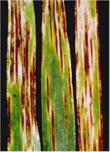 Ramularia effects on leaves Source: Aarhus Institute for Agroecology