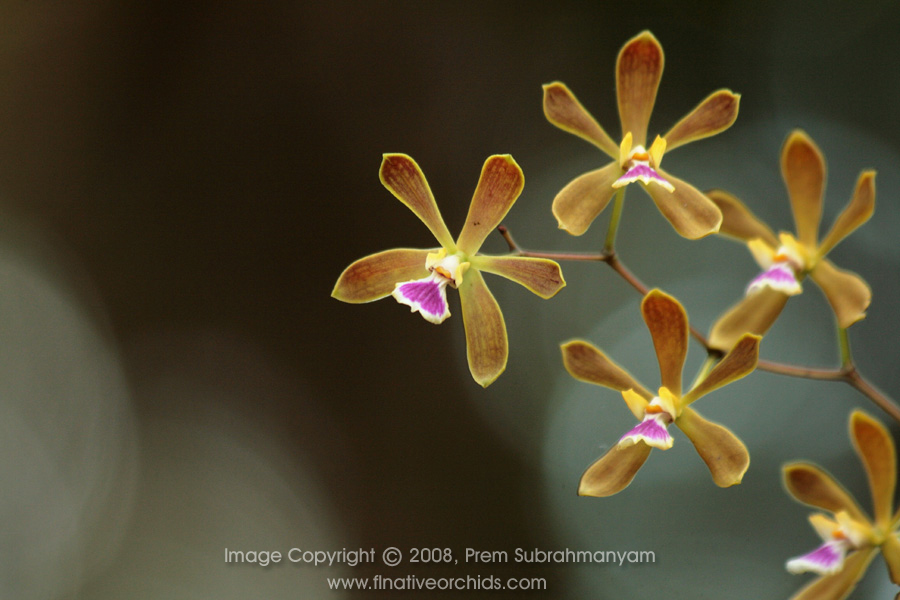 Encyclia Tensis Florida Erfly Orchid Large Plant