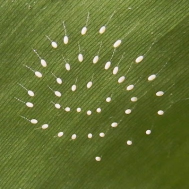 Green Lacewing eggs Source: GCMG