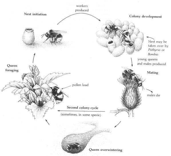 Bumblebee lifecycle Source: Bumblebee.org