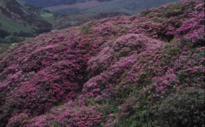 Rhododendron ponticum, native to southern Spain, covers a hillside in Snowdonia, UK Photo: M Williamson