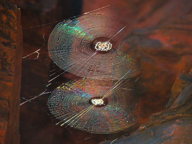 Spiral orb webs Photo: Bjørn Christian Tørrissen