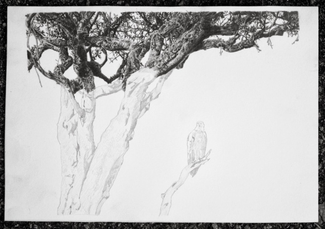 Acacia tree Source: GalleryHip