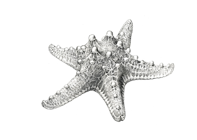 Knobby Sea Star Artist: Jane Kim/InkDwell