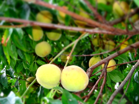 The green-yellow peaches, soft and ripe.