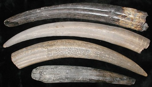 Walrus tusks, fossilized Source: Alaska Fur Exchange