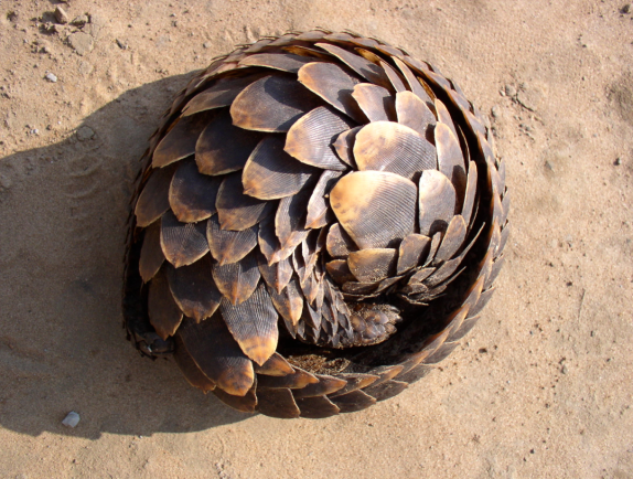 Tree pangolin (Manis tricuspis) Photo: PALF Project for the Application of Law for Fauna Republic of Congo