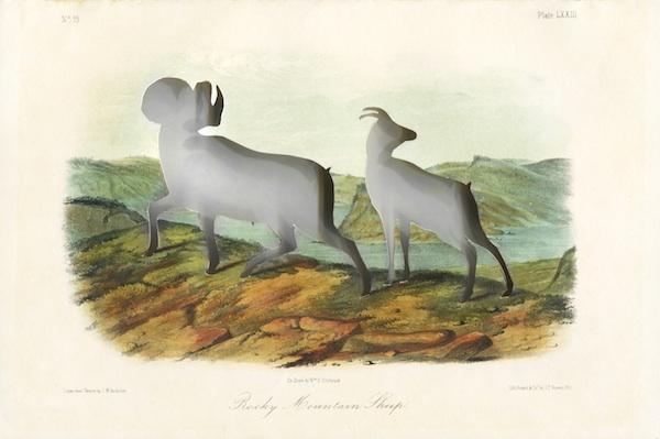 'RIP Audubon's Bighorn Sheep' (18492014) Frameworks of Absence Artist: Brandon Ballengée