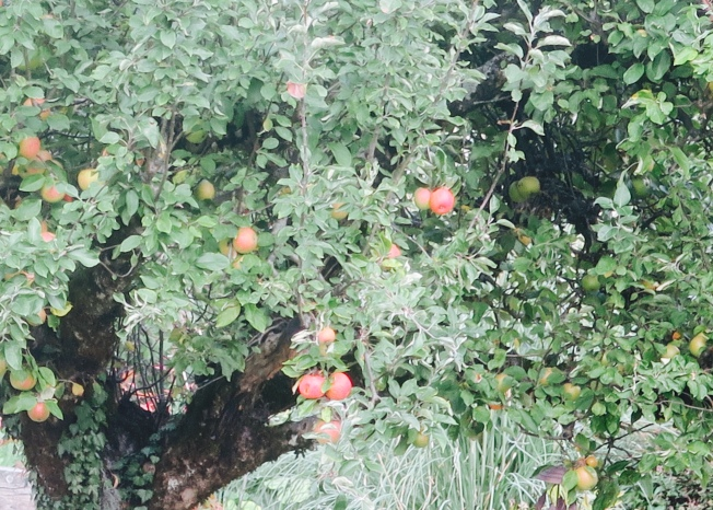 One of the apple trees in our small garden, a reliable producer of too many tart, delicious apples every year. All photos: PKR