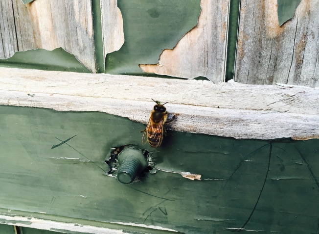 Bee on a window shutter Photos: PKR